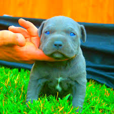 Do Pitbull Puppies With Blue Eyes Really Exist
