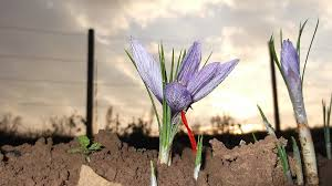 growing saffron why you should plant bulbs in september