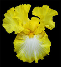 bearded iris the most popular flower with the most colors