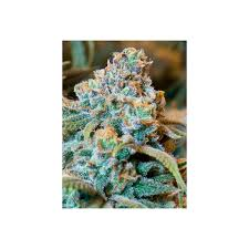 recolte cannabis exterieur date amnesia autofloraison high supplies