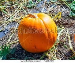 Pumpkin Patch In Long Island New York by Anastasiakopa U0027s Portfolio On Shutterstock