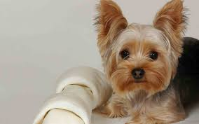 Small Dogs That Dont Shed Hair by 14 Best I Want A Yorkie Images On Pinterest Animals Yorkies And