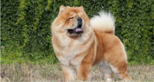 What Kind Of Dogs Shed The Most by The 10 Dog Breeds That Shed The Most Shedding Season Petcoach