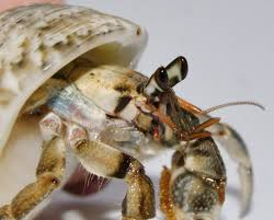Do Hermit Crabs Shed Shell by Why Do Hermit Crabs Lose Their Legs