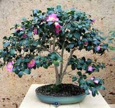 entretien du camelia en pot bonsaï création fiche d entretien du élia camellia japonica