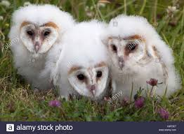 Barn Owl (Tyto Alba) Chicks In Captivity, Cumbria, England, United ... This Galapagos Barn Owl Lives With Its Mate On A Shelf In The Baby Barn Owl Owls Pinterest Bird And Animal Magic Tito Alba Sitting On Stone Fence In Forest Barnowl Real Owls Echte Uilen Wikipedia Secret Kingdom Young Tyto Roost Stock Photo 206862550 Shutterstock 415 Best Birds Mostly Uk Images Feather Nature By Annette Mckinnnon 63 2 30 Bird Great Grey