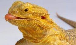 Basking Lamp Wattage For Bearded Dragon by More Bearded Dragon Stats U0026 Facts Animal Planet