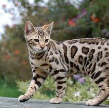 cats for best 25 cat breeders ideas on pretty cats kitty