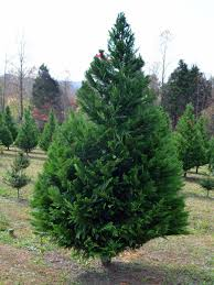 Balsam Christmas Trees by Best Living Christmas Tree Types Hgtv