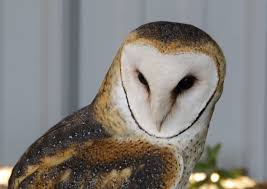 Free Stock Photo Of Barn Owl, Bird, Bird Of Prey White And Brown Barn Owl Free Image Peakpx Sd Falconry Barn Owl Box Tips Encouraging Owls To Nest Habitat Diet Reproduction Reptile Park Centre Stock Photos Images Alamy Bird Of Prey Tyto Alba Video Footage Videoblocks Barn Owl Tyto A Heart Shaped Face Buff Back Wings Bisham Group Bird Of Prey Clipart Pencil In Color British Struggle Adapt Modern Life Birdguides Beautiful Owls Pulborough Brooks The