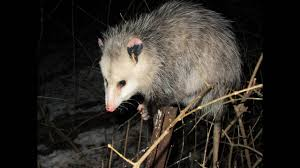 I Finally Got Close To An Opossum To Get Some Pictures And Videos ... All About Opossums Wildlife Rescue And Rehabilitation Easy Ways To Get Rid Of Possums Wikihow Animals Articles Gardening Know How 4 Deter From Your Garden Possum Hashtag On Twitter Removal Living In Sydney Opossum Removal Services South Florida Nebraska Rehab Inc Help Nuisance Repel Gel Barrier Sealant For Squirrels And Raccoons To Of Terminix