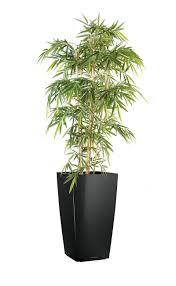 plante de bureau bambou 120 à 180 cm plantes de bureau salle de réunion