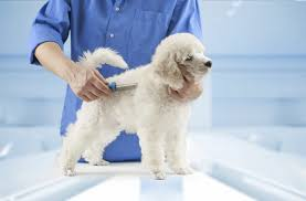 No Shedding Dog Breed by Best Non Shedding Dog Breeds For Allergies U0026 Asthma Cuteness