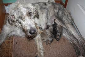 Irish Wolfhound Non Shedding by The Truth About Dog Breeding Rover Com