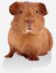 Pine Bedding For Guinea Pigs by Guinea Pig Care