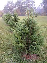 Leyland Cypress Christmas Tree Farm by Caes Newswire They U0027re Inexpensive And They Grow Quickly
