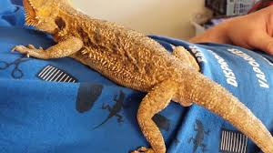 Bearded Dragon Heat Lamp Times by Rescued Bearded Dragon Laying Her Eggs On My Friend U0027s Lap Youtube