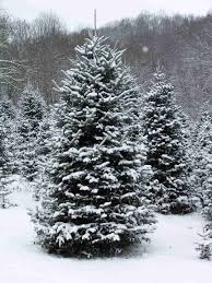 Balsam Christmas Trees Real by Christmas Tree Care Tips Www Thepavilion Ie