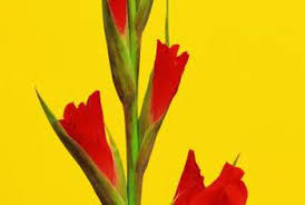 identification of a flowering bulb of like a gladiolus home