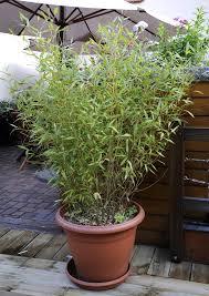 bambou nain en pot nipeze