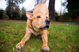 Big Dogs That Shed The Least by Why Is The Pitbull Lab Mix Aka Labrabull Such A Great Dog