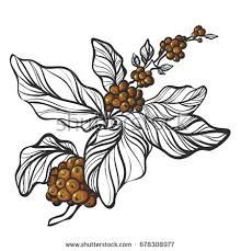 Branch Of Coffee Tree With Leaves And Natural Beans Botanical Contour Drawing Illustration