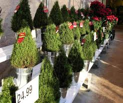 Plantable Christmas Trees For Sale by Live Potted Christmas Trees Home Depot Best Images Collections
