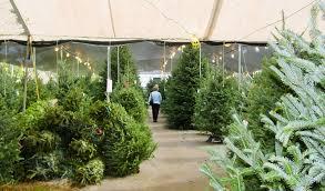 Cartner Christmas Tree Farm by 100 Wholesale Fraser Fir Christmas Trees Fox Hollow Farms