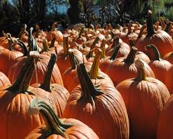 Pumpkin Picking In Chester Nj by Find Pick Your Own Pumpkin Patches In New Jersey Corn Mazes And