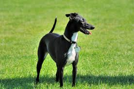 Do Italian Greyhounds Shed A Lot by Italian Greyhound Temperament U0026 Personality