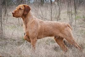 When Do Vizslas Shed Their Puppy Coat by 15 Interesting Wirehaired Vizsla Dog Care Facts