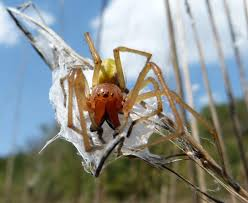 5 Venomous Spiders Found In Colorado | OutThere Colorado Spiders At Spiderzrule The Best Site In World About Spiders 5 Venomous Found Colorado Outthere 109 And Webs Images On Pinterest Nature Ohios Biting Spidersrule The Barn Spider Pets Cute Docile Bug Eric Sunday Western Spotted Orbweaver Araneus Gemmoides Wikipedia Poisonous Georgia