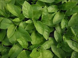 basilic marseillais à planter basilic en pot aromatiques