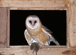 Nocturnal Birds Of Prey: The Barn Owl, Legends And Myths | All You ... Tasmian Masked Owl Wikipedia Sylvierland Moments And Thoughts Owl In Front Of The Farmer Writes Threats To Barn 13 October 2015 Free Barn New Zealand Birds Online Tyto Alba Species Owls Have Nesting Bonanza Region Npareilonlinecom How Find Photograph Owls Bird Photography Audubon Ms De 25 Ideas Increbles Sobre Sounds En Pinterest Kansas Citys Get All The Help They Need At Lakeside Nature Australia Australian Geographic Local Wildlife Landscape Our Local Voice