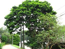 100 Pau Brazil Brasil Caesalpinea Echinata Leguminosae Jardim