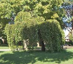 Mulberry Weeping Pruning Winter Care And Fertilizing