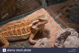 Bearded Dragon Heat Lamp Broke by Glass Lizard Stock Photos U0026 Glass Lizard Stock Images Alamy