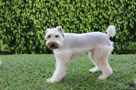Do Irish Wheaten Terriers Shed by Shave And A Haircut O Papagaio