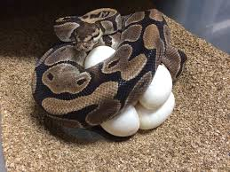 Ball Python Bedding by Brian Barczyk On Twitter