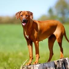 Terriers That Dont Shed by Protective Dog Breeds That Don T Shed Breed Dogs Picture