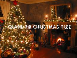 Fraser Fir Christmas Trees For Sale by Tips On Choosing A Grand Fir Christmas Tree 2016 Perfect For