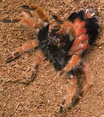 pet tarantula molting growth tarantula guide