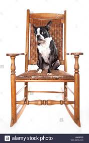 Adorable Boston Terrier On Antique Rocking Chair On White ...