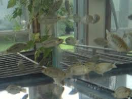 25 Live Blue Tilapia Fingerlings 2 Inches