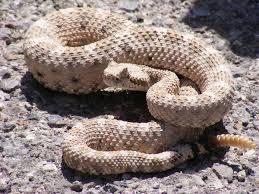 rattlesnake wikipedia