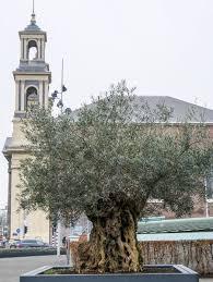 olivenbaum überwintern 5 pflegeregeln für die überwinterung