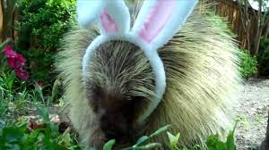 Porcupine Eating Pumpkin And Talking by Teddy The Porcupine Dresses As An Easter Bunny Rtm Rightthisminute