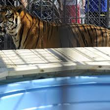 Tony, The Grosse Tete Truck Stop Tiger, Euthanized After Spending 17 ... 45 Tiger Truck Stop Trucker Jims Truckin Journey Youtube The Is Here To Stay Vice Kept At Iberville Parish Truck Stop Dies Tony The Update Owner Plans Pursue Another Tiger Stuff For Free Jobyronkuhnercom Kept At For 17 Years Dies But Legal Battle Isn September 28 2015 2 Louisiana Cdllife Abandoned Sign Along I2 Flickr