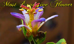 what is the world s most expensive flower