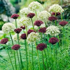 allium bulbs purple white mix dobies of flowers